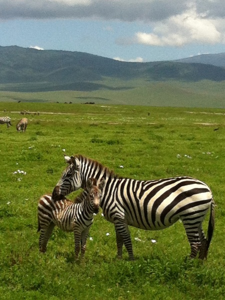 Mama and baby zebras just a few feet off the road from our safari car in the Ngorongoro Crater and Conservation Area